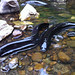 Tame eels