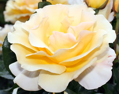 Rose in International Rose Test Garden (sandy richard) Tags: usa gardens oregon portland unitedstates sandyrichard sandrarichard