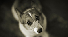 Once Upon a Time (moaan) Tags: dog digital star corgi dof bokeh attitude memory utata welshcorgi recollection 2012 canoneos1ds ef85mmf12lusm pochiko thelittledoglaughed ldlnoir