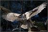 "Barred Owl (201201206-1517) (Earl Reinink) Tags: travel ontario canada bird art nature birds photography landscapes nikon flickr canadian niagara raptor owl earl bif ""lake ""bird ""nikon ""niagara photography"" ""birds ""nature ontario"" ""landscape ""fine ""earl peninsula"" flight"" owl"" lenses"" ""travel erie"" d3"" ""barred d3s"" reinink"""