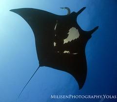 Manta birostris (Jeff Milisen) Tags: life sea jeff nature animal photography hawaii ray underwater natural aquatic manta pelagic milisen milisenhawaiiedu