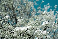 apple blossom 2 (noveli77) Tags: flowers orchard appleblossom
