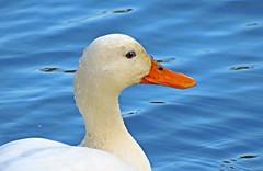 Domestic Mallard (Rob Felton) Tags: river bedford duck wildlife bedfordshire waterbird domestic mallard felton embankment anasplatyrhynchos greatouse domesticmallard robertfelton