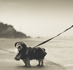 Teddie (joannablu kitchener) Tags: dog cute beach rain nikon australia raincoat doggie teddie goldcoast d90 dylank kitchenerphotography