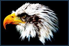 Bald Eagle 1 (Buzzard2001) Tags: baldeagle