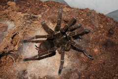 """1.0 Theraphosa stirmi • <a style=""""font-size:0.8em;"""" href=""""http://www.flickr.com/photos/77637771@N06/6976437063/"""" target=""""_blank"""">View on Flickr</a>"""
