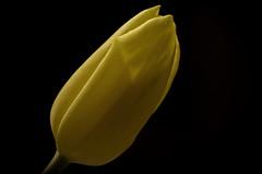 lonely tulip (Paul Lapinski) Tags: flower nature poland polska natura tulip kwiat tulipan apiski