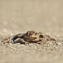 toad on the road (Black Cat Photos) Tags: saved road uk portrait england rescue nature canon blackcat photography photo eyecontact europe wildlife yorkshire seasonal reserve amphibian save m toad frisky daze croak guarding stared fairburn eyetoeye blackcatphotos onethingonhismind