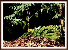 folhas (Mandeandrade) Tags: folhas butterfly galinha natureza paisagem inseto borboleta hibisco araucria pintinhos hibiscoamarelo mandeandrade