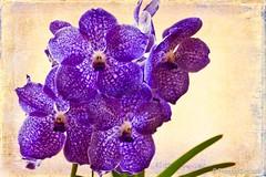 Vanda (Thelma Gatuzzo) Tags: flowers brazil flores orchid macro texture nature fleur closeup garden petals still sopaulo natureza ngc tulip vanda fiore thelmagatuzzo