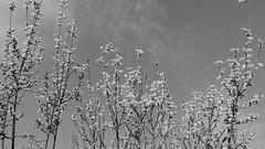 SPRING IN BLACK  And WHITE. WILLOWS. (eagle1effi) Tags: trix1600 bw sw spring nokia celly effiart2012picnik smartphone photo foto photos fotos aufgemommen mit der kamera handy handykamera nokialumia800 lumia800 lumiacelly f22 gps geomapped lumia800photography taken with carl zeiss lens tessar lumia windowsphone75 yourbestoftoday tagesbeste ae1fave favoriten lieblingsbilder flickr beste bestof byeagle1effi eagle1effi selection selektion auswahl damncool effiart kunst erwin effinger edition art artistic monochrome experiment schwarz weiss black white noire blanc