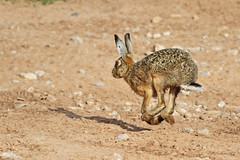 Hare (Paul West ( pwest.me )) Tags: hare