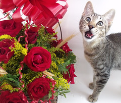 Kimi (Lavanda Artes) Tags: red roses pet cats pets rose cat chat kitty rosa gato neko katze rosas gatto filhote gatinho cutekitty