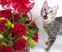Kimi (Lavanda Artes) Tags: red roses pet cats pets rose cat chat kitty rosa gato neko katze rosas gatto filhote gatinho cutekitty 고양이 кот