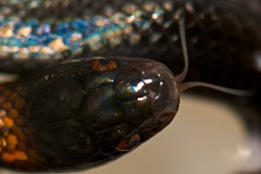 Mussurana (CCarillePhotography) Tags: reptile snake pie