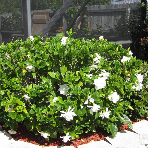 Gardenia Bush http://flickeflu.com/groups/33207323@N00