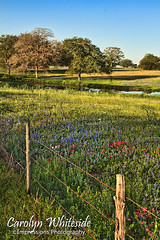 Bluebonnets and Pond