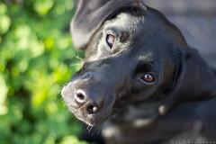 der mumfelsche Blick von oben (Ingo R) Tags: dog black dogs animal animals tiere blackdog hund schwarz hunde tier tierfoto tierfotos tierfotografie hundeportrait schwarzerhund ingoreisenweber