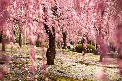 /Plum garden of the Jonan shrine (nobuflickr) Tags: flower nature japan kyoto    japaneseapricot  prunusmume   awesomeblossoms  vision:outdoor=0974 prunusmumeformpendula 20140316dsc02160 jounanguushrine