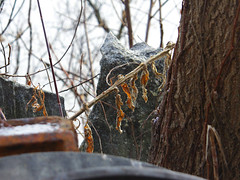 Last Leaves (lefeber) Tags: plants snow newyork tree leaves rural fence town garbage junk rust rocks dof village bark dried twigs rockwall smalltown hudsonvalley rustymetal highlandfalls