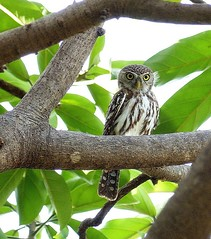 Pearl-spotted Owlet / Geparelde dwerguil (Ronald Poels - Enjoy all the beauty) Tags: africa bird nature birds animal animals owl gambia pearl spotted owlet glaucidium perlatum