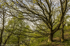 Signs Of Life - Helsby Hill,Spring 2014 (Glyn Owen Photography & Image-Art) Tags: uk tree forest landscape woods sandstone track cheshire hill roots landmark foliage growth trail canopy springtime helsby appearing