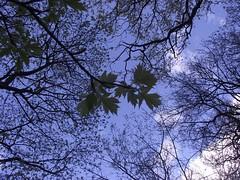 Sorbus torminalis (Wild Service-Tree) - leaves, Gamlingay Wood, Cambs, 30.4.16 (respect_all_plants) Tags: trees cambridgeshire cambs wildservicetree sorbustorminalis gamlingaywood
