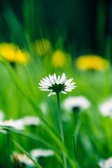 (***étoile filante***) Tags: flower green nature yellow spring bokeh natur gelb daisy grün blume frühling gänseblümchen bokehlicious