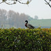Hedge and duck