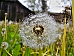 dandelion (seanfderry-studenna) Tags: ranch wood old roof light red summer sky house color building green broken nature field yellow clouds barn rural vintage season grey countryside wooden log cabin colorful outdoor decay farm background room country farming rustic scenic farmland dandelion isolated