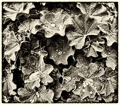 after the rain (Simple_Sight) Tags: blackandwhite rain blackwhite drops noiretblanc monochrom leafs blätter regen tropfen autofocus frauenmantel schwarzweis