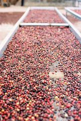 Coffee berries (shuzhens) Tags: travel film coffee nikon berries estate kodak geisha 400 f3 boquete panama portra elida gesha