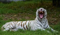 Good Morning (Somak Pal) Tags: wild india white green grass animal cat wildlife teeth tiger yawn bigcat strips whitetiger carnivore