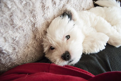 Micky (LauraJWPhotography) Tags: puppy documentary dogphotography zuchon