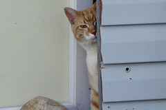 Ziggy Cat - Around Yard 4-24-16 06 (anothertom) Tags: cats funnyface look doorway peek safe rub funnycat ziggycat sonyrx100ii