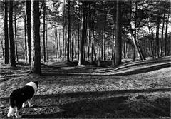 Goldrings Warren (Robots are Stupid) Tags: wood uk greatbritain trees england blackandwhite bw monochrome pine rural forest woodland sussex mono nationalpark woods collie shadows westsussex unitedkingdom britain hill sheepdog wideangle pineneedles naturereserve harvey heath bordercollie pinetrees southdowns englishcountryside goldrings walkies midhurst heathland britishcountryside longshadows walkingthedog colliedog farmdog workingdog ruralengland downland iping sussexwildlifetrust ruralsussex ipingcommon trotton ruralbritain xe2 southdownsnationalpark trottoncommon elstedroad daviddalley davidjdalley horribleharvey fujixe2 fujifilmxe2