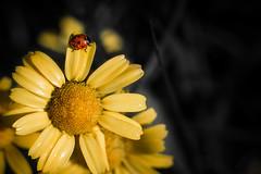 Marigold & Company! (Explored) (_ranhada) Tags: red flower macro nature yellow photography spring spots ladybug marigold joaninha macrophotography malmequer macrorings springcolors oldlenses manuallenses vintagelenses legacylenses nikkorpc105mmf25