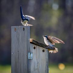 Tree Swallows (Dalliance with Light) Tags: blue nature birds us flying newjersey wings unitedstates wildlife nj birdhouse landing treeswallow spreadwings southbrunswicktownship davidsonsmillpondpark