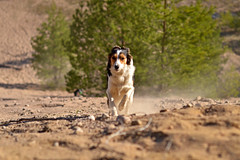 DSC_1606T (juliannahiaasen) Tags: portrait dog pet dogs animal training photography bordercollie australianshepherd dogphotography dogtraining dogportrait dogphotographer