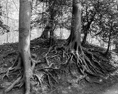 Roots (Wagner_Photographic) Tags: uk greatbritain trees wild england sky white black tree wet water monochrome field grass weather forest 35mm woodland way skyscape landscape outdoors photography iso100 mono countryside amazing woods nikon exposure exploring explorer roots illumination tokina explore international lazy sycamore northeast iconic northyorkshire tees dx picoftheday explores explored polarisingfilter is0 instagram wagnerphotographic forestscapee