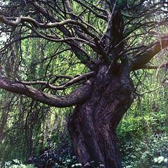 Deformity (Noah MM) Tags: tree green texture 6x6 film nature rollei mediumformat garden kodak foliage analogue xenar rolleicord schneiderkreuznach ektar c41 tetenal