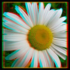 Daisy 2 - Anaglyph 3D (DarkOnus) Tags: wild flower macro closeup lumix stereogram 3d weed phone pennsylvania anaglyph panasonic stereo daisy bloom stereography buckscounty dmcfz35 darkonus