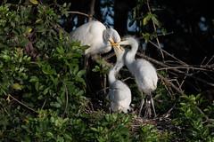 Great Egret (jcfa_photography) Tags: feeding florida egrets