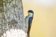7K8A8835 (rpealit) Tags: tree bird nature scenery wildlife area swallow hatchery pequest