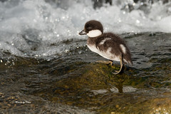 Balancing Act (Canon Queen Rocks (980,000 + views)) Tags: wild baby cute water birds wings wildlife beak feathers young adorable chick commonmerganser