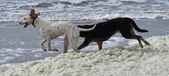 Freedom (Elisa1880) Tags: beach dogs netherlands strand freedom scheveningen den nederland running hague haag rennen the kijkduin honden vrijheid dalmatier