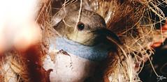 Baby Bird (briejeshpatel) Tags: bird nest sony gujarat brijesh kheda nadiad briejeshpatel sonydschx300432150mmf2863 mehmdavad