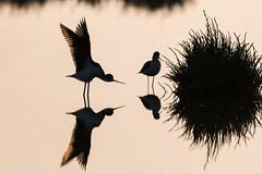 Silhouette Strech (tompost) Tags: california sun bird nature birds sunrise wing silhouettes backlit stilts strech d500 paloaltobaylands blackneckedstilts