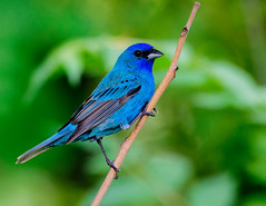 Indigo Bunting (snooker2009) Tags: blue bird fall nature spring pennsylvania wildlife indigo migration bunting