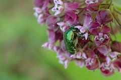 DSCF7408 (faki_) Tags: flower insect fuji beetle fujifilm 24 60 virg rovar bogr xe1 fujinonxf60mmf24rmacro